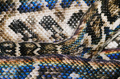 Snake Skin. Background In Spectrum Stock Photo