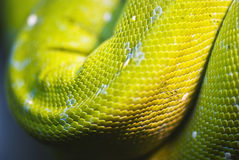 Snake skin, bright scales Royalty Free Stock Images