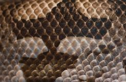 Snake skin - brown and white Royalty Free Stock Photo