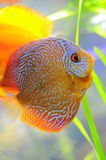 Snake-skin discus Stock Photography