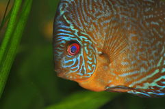 Snake-skin discus Royalty Free Stock Photography