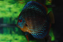 Snake-skin discus fish (tropical aquarium fish) Stock Photography