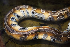Snake skin pattern. Python snake with beautiful colored skin pattern in water Stock Photo