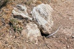 Snake skin shedding Royalty Free Stock Images