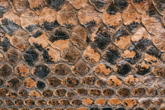 Snake skin texture as a background Stock Photos
