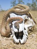 Snake on a Skull (front view) Stock Photo