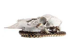 Snake Skull Royalty Free Stock Photos