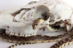 Snake and Skull Stock Images