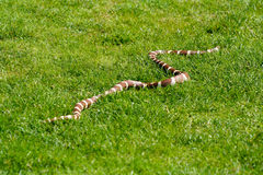 Snake. Sliding free on the grass Stock Photo
