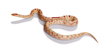 Snake slithering in front of white background Royalty Free Stock Images