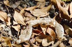 snake slough skin on ground in garden Royalty Free Stock Photos