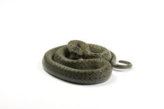 Snake coiled in the ring Stock Images