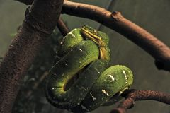 Snake. S are elongated, legless, carnivorous reptiles of the suborder Serpentes Stock Photo