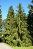 The snake spruce tree (Picea abies viminalis) Stock Image