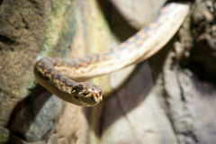 Snake staring at me closely.  royalty free stock images