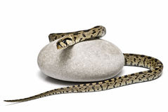 Snake on a stone. Stock Images