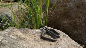 Snake on a stone - Kareliya Royalty Free Stock Photo