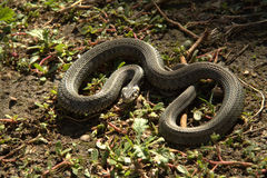 Snake in the sun Royalty Free Stock Photography