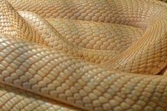 Snake in the terrarium - Albino indian cobra Stock Image