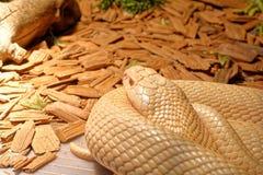 Snake in the terrarium - Albino indian cobra Royalty Free Stock Photography
