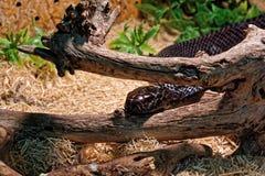 Snake in the terrarium - Black mamba Stock Image