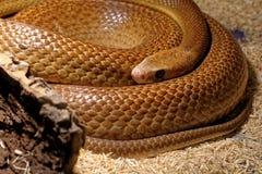 Snake in the terrarium - Coastal taipan Royalty Free Stock Photography