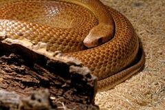 Snake in the terrarium - Coastal taipan Stock Images