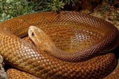 Snake in the terrarium - Coastal taipan Royalty Free Stock Photo