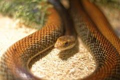 Snake in the terrarium - Coastal taipan Stock Image