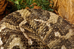 Snake in the terrarium - Gaboon viper Stock Photos