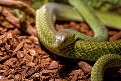 Snake in the terrarium - Green rat snake Stock Image