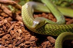 Snake in the terrarium - Green rat snake Stock Image
