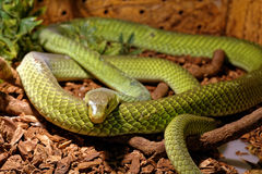 Snake in the terrarium - Green rat snake Royalty Free Stock Photos