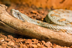 Snake in the terrarium - Levantine viper Royalty Free Stock Photography