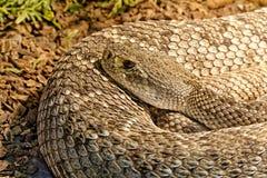Snake in the terrarium - Levantine viper Royalty Free Stock Photo