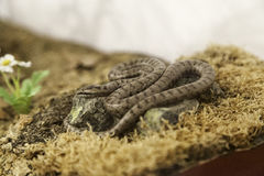 Snake in terrarium Royalty Free Stock Image