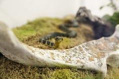 Snake in terrarium Royalty Free Stock Photo
