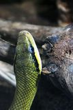 Snake in the terrarium stock images