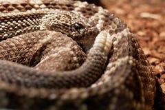Snake in the terrarium - Tropical rattlesnake Royalty Free Stock Photos