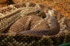 Snake in the terrarium - Tropical rattlesnake Stock Image