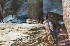 Snake,Thai Python Royalty Free Stock Photo