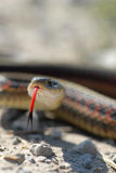 Snake Tongue. A small garter snake uses a forked tongue to taste the air Stock Image