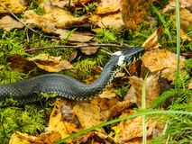 The snake too in yellow autumn leaves. royalty free stock photos