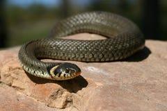 snake trawy. Obrazy Stock