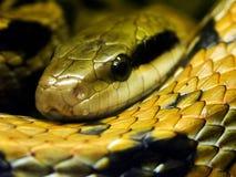 snake trawy. Fotografia Royalty Free