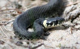 snake trawy. Zdjęcie Stock