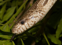 Snake in a tree. Stock Images