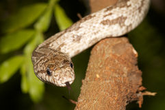 Snake in a tree. Royalty Free Stock Photos