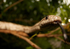 Snake in a tree. Royalty Free Stock Images