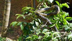 Snake. On the tree in amazon forest Stock Image